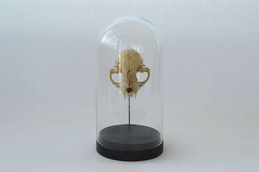 A vintage cat skull in a glass